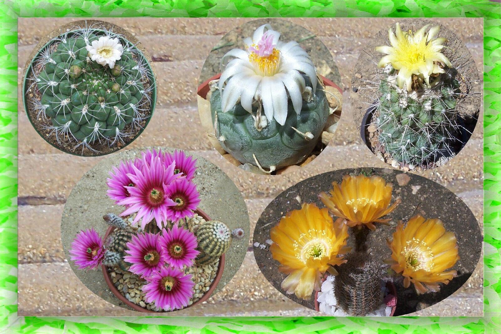200 graines cactus en mélange