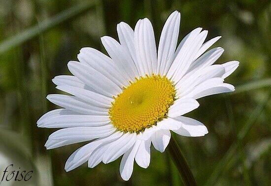 Marguerite 1 Plant