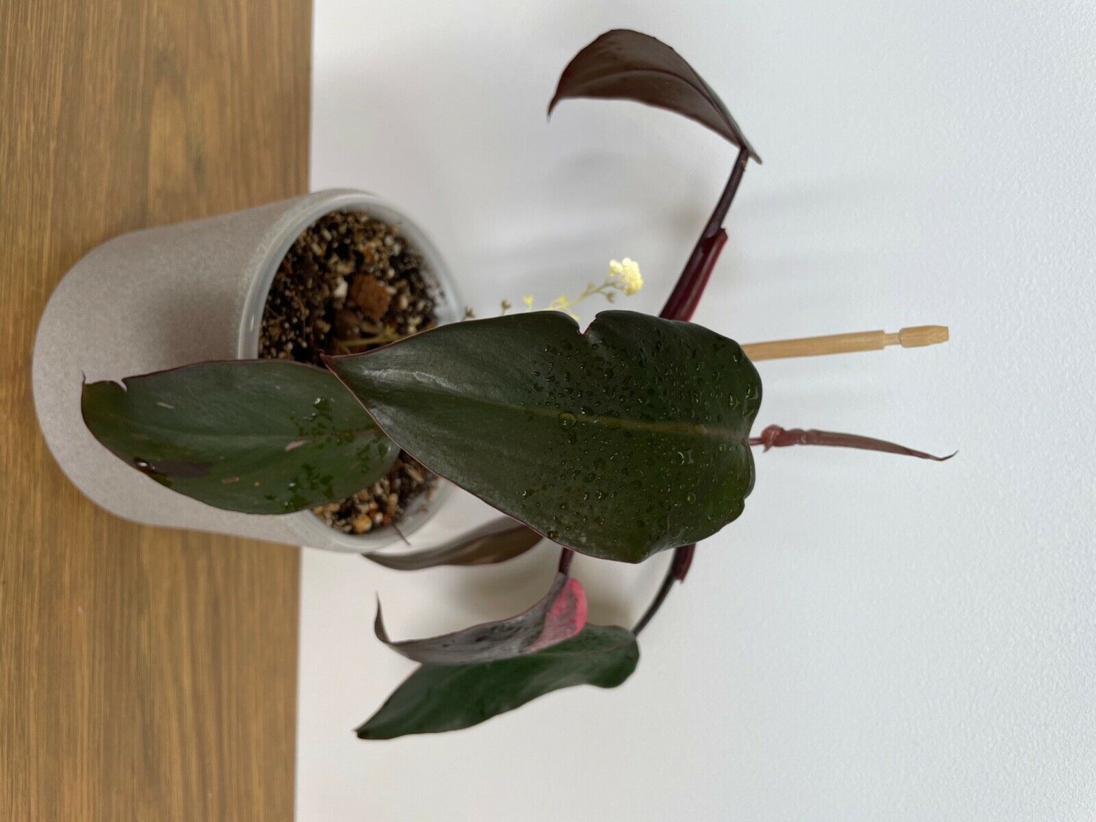 Philodendron Pink Princesse